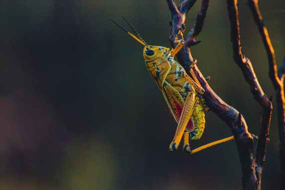 close up photo of grasshopper